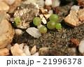 発芽した多肉植物コノフィツムのクローズアップ 21996378