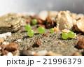 発芽した多肉植物コノフィツム達のコロンとした姿 21996379