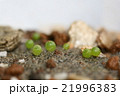 透けて見える多肉植物コノフィツムの発芽した姿 21996383