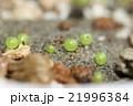 コロコロして緑色で美しい多肉植物コノフィツムの発芽した姿 21996384
