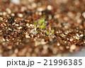 多肉植物リトープスの発芽の姿 21996385