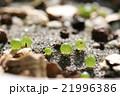 光に映えて美しい多肉植物コノフィツムの発芽した姿 21996386