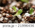 多肉植物リトープスの発芽のクローズアップ 21996436