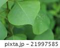 新緑の雨露 21997585