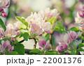 りんご リンゴ 林檎の写真 22001376