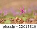 かたくりの花 22018810