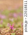 かたくりの花 22018811