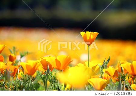 黄色のポピー畑 22018895