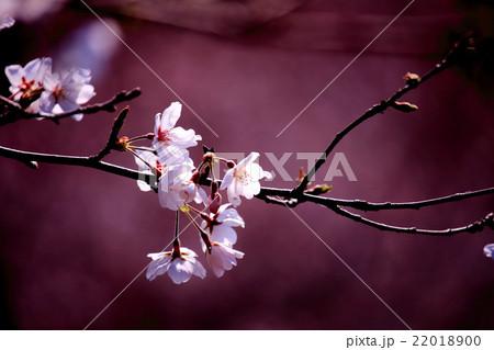 桜の花 22018900