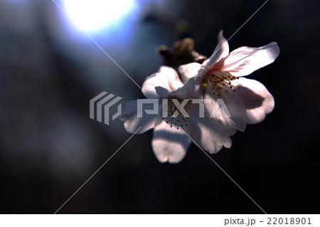 花びらが光に透けている桜 22018901