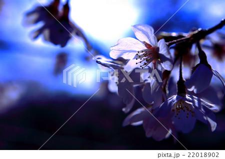 花びらが光に透けている桜 22018902