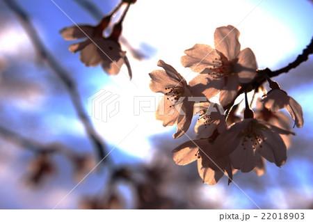 花びらが光に透けている桜 22018903