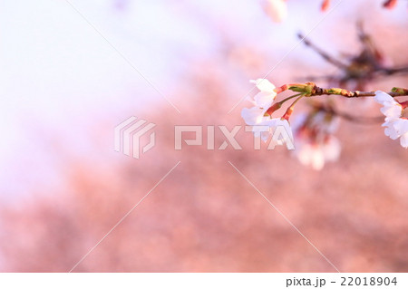 桜並木と桜のアップ 22018904