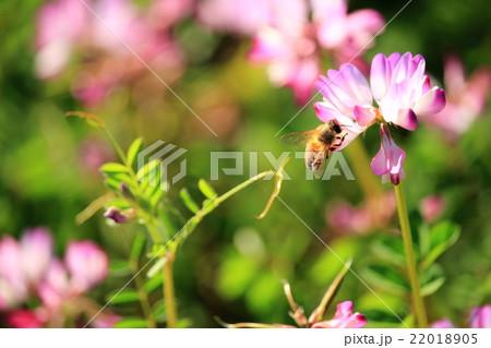 シロツメクサと蜜蜂 22018905