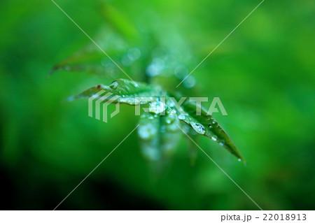 雨露と葉 22018913