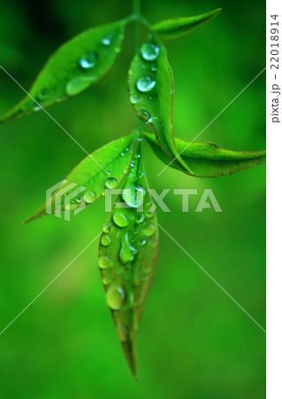 雨露と葉 22018914