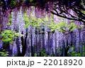 藤の雨 22018920