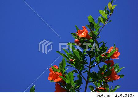 石榴ザクロ 花言葉は「優美」 木言葉や実言葉もあるようです。 22020107