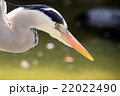 青鷺 蒼鷺 鷺の写真 22022490