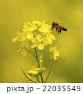 花粉玉を持って菜の花の周りを飛ぶミツバチ 22035549