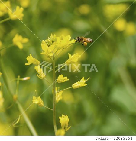 花粉玉を持って菜の花の周りを飛ぶミツバチ 22035551