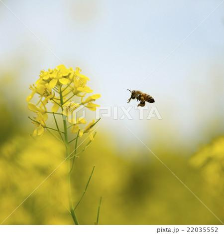 花粉玉を持って菜の花の周りを飛ぶミツバチ 22035552