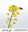 花粉玉を持って菜の花の周りを飛ぶミツバチ 22035554