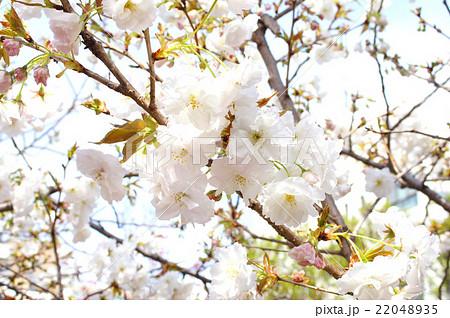 "大阪・造幣局の桜""静香"" 22048935"