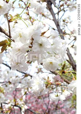 "大阪・造幣局の桜""静香"" 22048936"