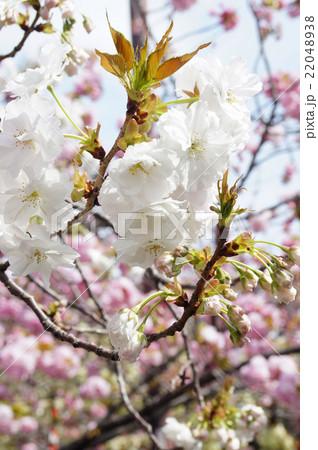 "大阪・造幣局の桜""静香"" 22048938"