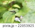 捕食しているマガリケムシヒキ 22053925