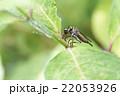 捕食しているマガリケムシヒキ 22053926
