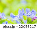 ホタルカズラの花 22056217