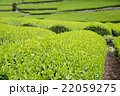 日本茶の茶葉 新芽 新茶 22059275