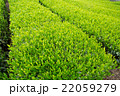 日本茶の茶葉 新芽 新茶 22059279