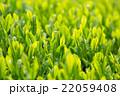 日本茶の茶葉 新芽 新茶 22059408