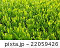 日本茶の茶葉 新芽 新茶 22059426
