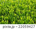 日本茶の茶葉 新芽 新茶 22059427