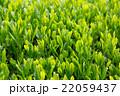 日本茶の茶葉 新芽 新茶 22059437