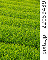 日本茶の茶葉 新芽 新茶 22059439