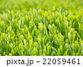日本茶の茶葉 新芽 新茶 22059461