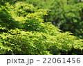 新緑のイロハモミジ 22061456