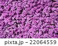 芝桜 ハナシノブ科 花の写真 22064559