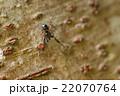 生き物 蜘蛛 キレワハエトリ、太陽の光を反射して体の毛が金色に光っています 22070764