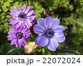 アネモネ コロナリア ボタンイチゲの写真 22072024