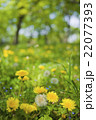 タンポポが咲く公園 22077393