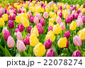 Pink, purple and  yellow tulips  flowerbed 22078274