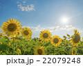 ヒマワリ 黄色 青空の写真 22079248