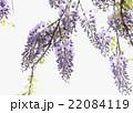 藤 藤棚 花の写真 22084119