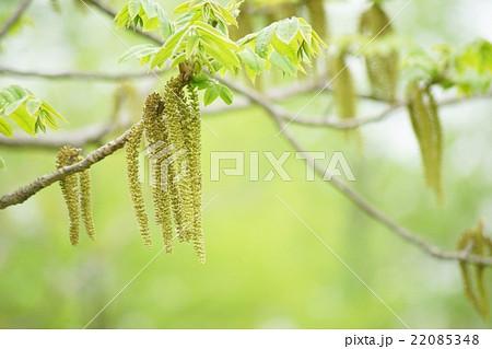 オニグルミの花 22085348